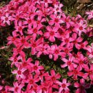 USA SELLER Scarlet Flame Creeping Phlox 25 seeds
