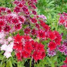 USA SELLER Twinkles Tall Phlox Mix 25 seeds