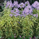USA SELLER Shockwave Tall Lavender Phlox 25 seeds