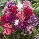 USA SELLER Giant hardy Phlox Phlox 25 seeds