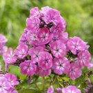 USA SELLER Anastasia Tall Phlox 25 seeds