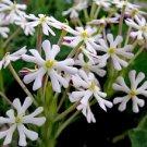 USA SELLER Midnight Candy Tall Phlox 25 seeds