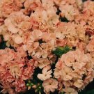 USA SELLER Peach Promise Tall Phlox 25 seeds