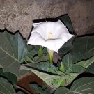 USA SELLER Single White Datura (Single White Moon Flower) 10 seeds