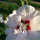USA SELLER Double White Rose of Sharon 10 seeds