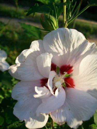 USA SELLER Double White Rose of Sharon 10 seeds