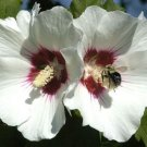 USA SELLER Single White Rose of Sharon 10 seeds