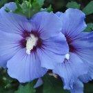 USA SELLER Blue Satin Rose of Sharon 10 seeds