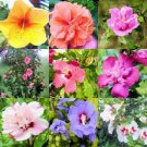 USA SELLER Rose of Sharon Mix10 seeds