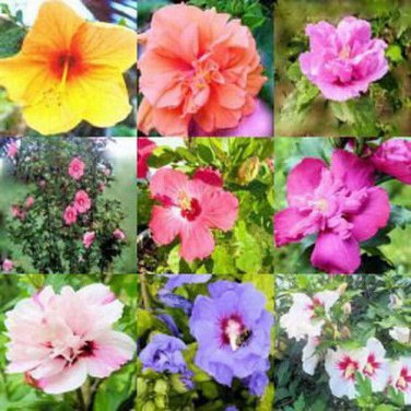 USA SELLER Rose of Sharon Mix10 seeds