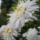 USA SELLER Crazy Daisy (Triple Blossom Shasta Daisy) 10 seeds