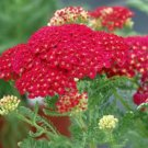 USA SELLER Pomegranate Red Yarrow 50 seeds  seeds