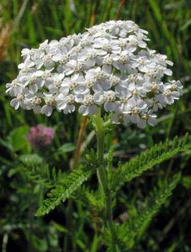 USA SELLER Common White Yarrow 50 seeds  seeds
