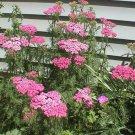 USA SELLER Cerise Queen Pink Yarrow 50 seeds  seeds