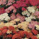 USA SELLER Summer Berries Yarrow 50 seeds  seeds