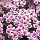USA SELLER Lilac Yarrow 50 seeds  seeds