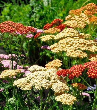 USA SELLER Colorado Mix Yarrow 50 seeds  seeds