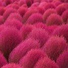 USA SELLER Kochia Scoparia 50 seeds  seeds
