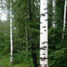 USA SELLER Europe White Birch Tree  30 seeds