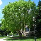 USA SELLER River Birch Tree  30 seeds