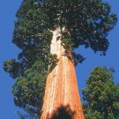 USA SELLER California Giant Redwood Tree  10 seeds