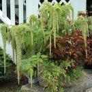 USA SELLER Love-Lies-Bleeding - Green Amaranth 100 seeds