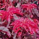 USA SELLER Early Splendor Amaranth 25 seeds