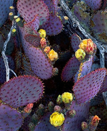USA SELLER Giant Prickly Pear 30 seeds