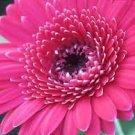 USA SELLER Festival Rose Gerbera Daisy 10 seeds