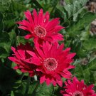 USA SELLER  Hot Pink Gerbera Daisy 10 seeds