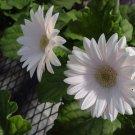 USA SELLER  White Gerbera Daisy 10 seeds