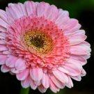 USA SELLER  Pacific RIm Gerbera Daisy 10 seeds