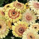 USA SELLER  Cartwheel Strawberry Gerbera Daisy 10 seeds