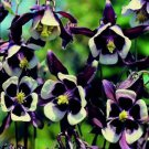 USA SELLER William Guinness Columbine 25 seeds