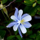 USA SELLER Blue Dream Columbine 25 seeds