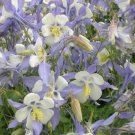 USA SELLER Pale Blue Star Columbine 25 seeds