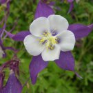USA SELLER Colorado Purple-White Columbine 25 seeds