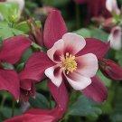 USA SELLER Rose Queen Rose-White Columbine 25 seeds