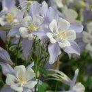USA SELLER Songbird pale Blue-white Columbine 25 seeds