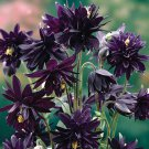USA SELLER Barlow Black Columbine 10 seeds