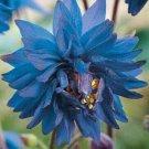 USA SELLER Barlow blue Columbine 10 seeds