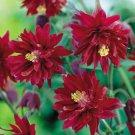 USA SELLER Barlow Red Columbine 10 seeds