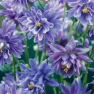 USA SELLER Barlow Christa Columbine 10 seeds