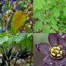 USA Seller Blue Cohosh 20 seeds