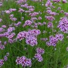 USA SELLER Purpletop Vervain Verbena 25 seeds