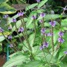 USA SELLER Common Vervain Verbena 25 seeds