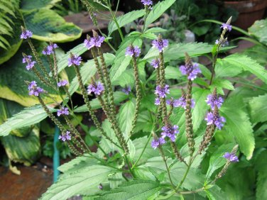 USA SELLER Common Vervain Verbena 25 seeds