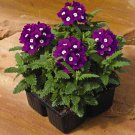 USA SELLER  Purple Ox-eyeVerbena 25 seeds