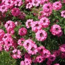 USA SELLER  Rozovaya Pink Verbena 25 seeds
