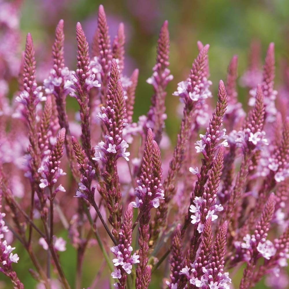 USA SELLER  Pink Spires Verbena 25 seeds